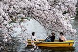 Parmi les arbres vénérés par les Japonais, les cerisiers sont sans doute les plus célébrés au moment de la floraison. Photo : AFP/VNA/CVN