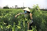 En avril, des habitants du village de Tây Tuu dans l'arrondissement de Bac Tu Liêm, Hanoï, commencent à récolter les lys blancs. Photo : VNA/CVN