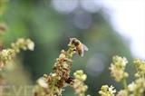 Une abeille occupée à sucer le nectar des longanier dans la province de Hung Yên. Photo : VNA/CVN