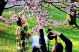 Les gens viennent au Parc botanique à Moscou, en Russie, pour admirer les cerisiers en fleurs. Photo : VNA/CVN