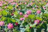La fleur de lotus, une source d'inspiration pour de nombreux photographes. Photo : Lê Lâm/VNA/CVN
